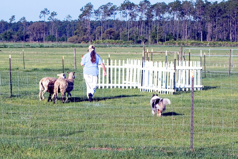 #302 Shadow Hills Daisy Duke, Shetland Sheepdog. Daisy and her owner/handler, Joanne Kern, work the started A course by moving the sheep through the Z-chute.