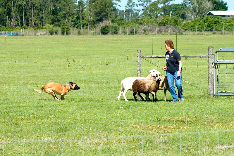 #207 Branhaven's Bacchus, a Belgian Malinoisl.  Lisa slows Brio as he approaches the sheep.