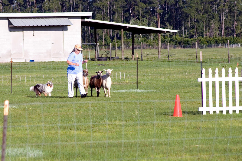 #302 Shadow Hills Daisy Duke, Shetland Sheepdog. Daisy and Joanne position the sheep for passage through the centerline gates.