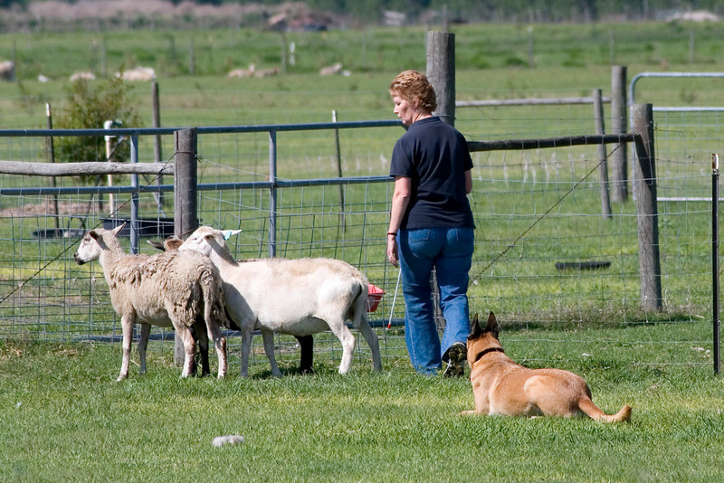 #207 Branhaven's Bacchus, a Belgian Malinois.  Brio holds the sheep while Lisa opens the gate to the exhaust pen.