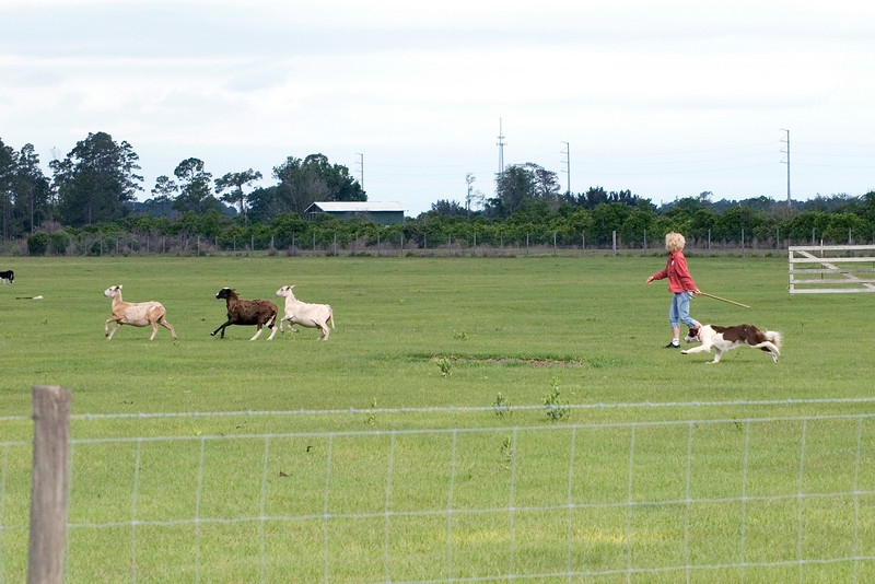 #322 Gum Slough Tank, Border Collie.  Tank and his owner/handler Kristen Wahl work the Started Course B with the sheep.