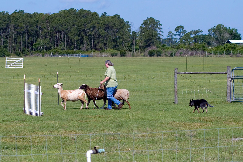 #206 Luaces Abby'Riginal, an Australian Cattle Dog. Abby and her owner Pamela Johnson keep the sheep gathered and moving at a controlled pace.