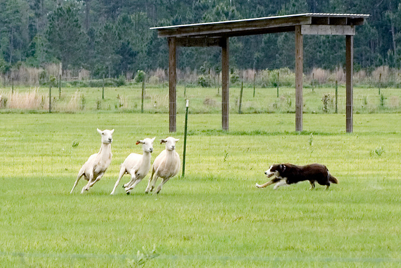 #402 Gum Slough Gyp, Border Collie.  Gyp turns the sheep towards the next obstacle.