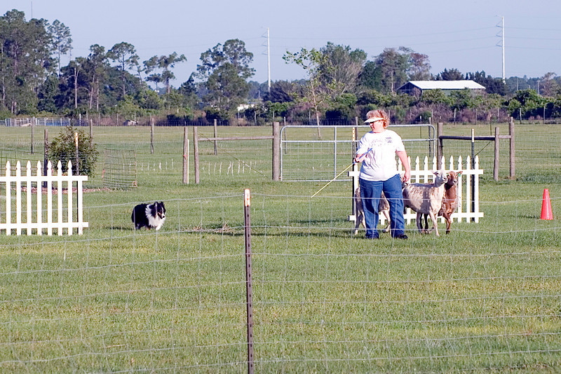 #300 Mighty Mac Linden, Shetland Sheepdog.  Mac and Nancy get the sheep successfully through the cross panels, not an easy job.