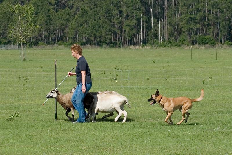 #207 Branhaven's Bacchus, a Belgian Malinois.  Brio drives the sheep behind owner Lisa Diehl.