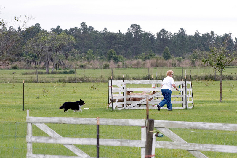 #306 Prince Bear, Shetland Sheepdog, owned by Sanny Olimpo and handled by Nancy Olimpo.  Bear drives the sheep through the Z chute.