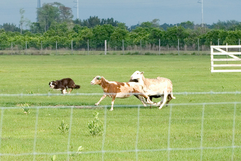 #420 Gum Slough Gyp, Border Collie. Gyp moves the sheep along the fence to the next obstacle.