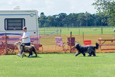 #104 Chaotic's Vision In Gray, Briard, is owned and handled by Michelle Holmes.  Harry drives the sheep at a controlled pace.