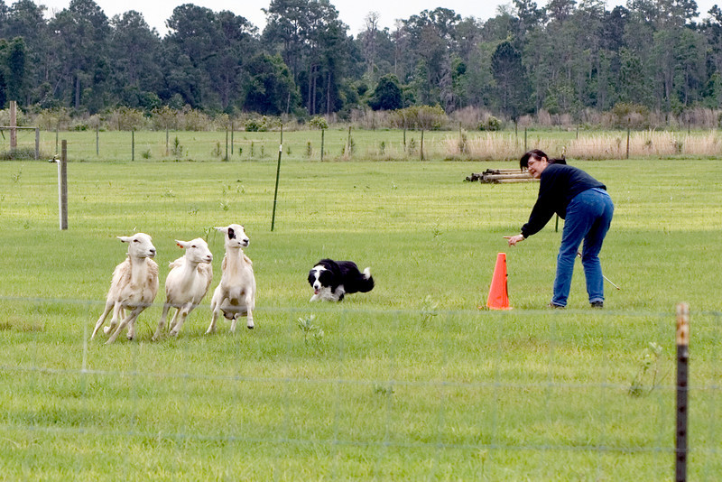 #404 Solo, Border Collie.  Solo and her owner, Carol Tague, work the sheep on the Intermediate Course A.