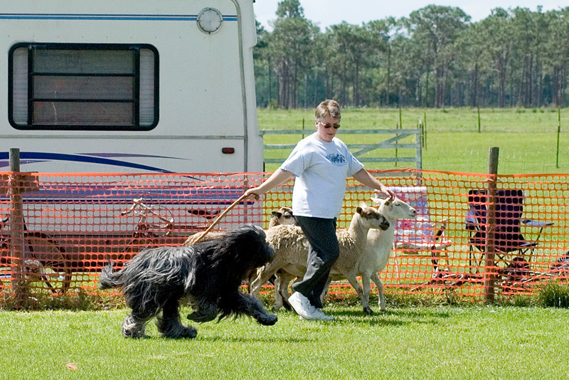 #104 Chaotic's Vision In Gray, Briard, is owned and handled by Michelle Holmes.  Harry and Michelle keep the sheep along the fence.
