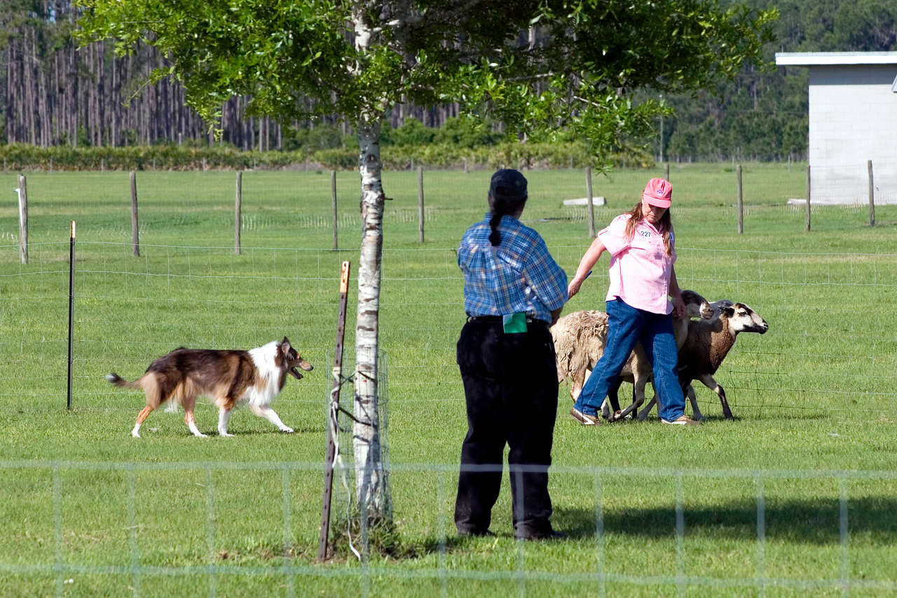 #203 Freiland's Spirit of Liberty HT, RA, AXJ, OJP, NFP, Rough Collie.  Judge Sandra Lindenmuth watches as Liberty and Marybeth move the sheep.