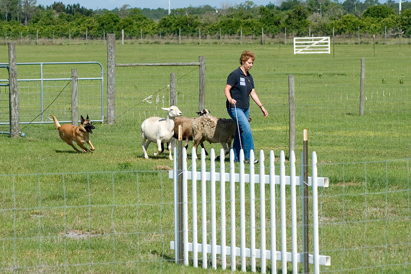 #207 Branhaven's Bacchus, a BelgianMalinois, owned and handled by Lisa Diehl.  Brio moves the sheep around the panels.