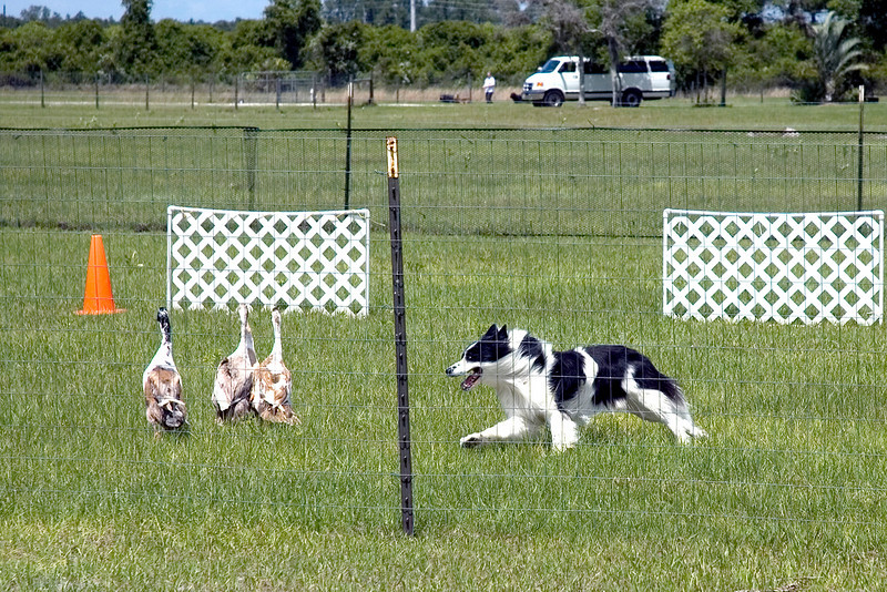 #352 Sumtinbout Bill, HXAs, MS, MJX, Border Collie.  Bill moves the ducks towards the center-line panels.