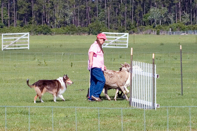 #203 Freiland's Spirit of Liberty HT, RA, AXJ, OJP, NFP, Rough Collie.  Liberty drives the sheep around the first panel.