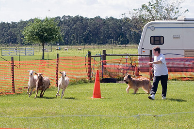 #101 Chaotic's Bravo Romeo Echo, Briard.  Bre drives the sheep around one of the cones in the HT course.