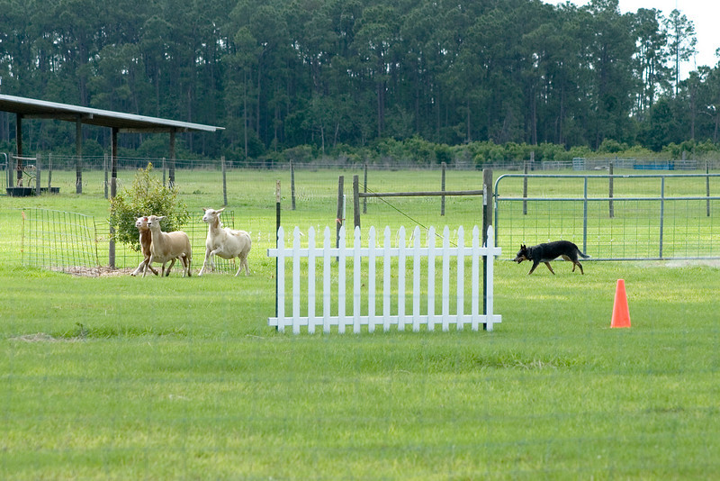 #221 Luaces Abby'Riginal, Australian Cattle Dog.  Abby moves the sheep behind one of the panels on the center-line gates.
