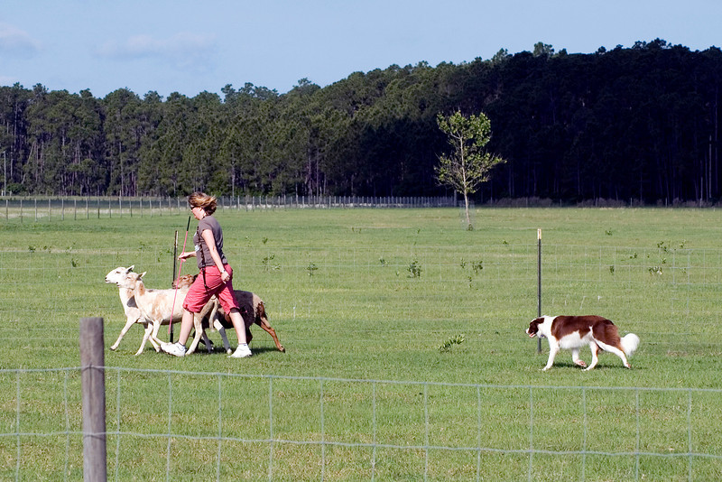 #201 DD Riley DeBellis, Border Collie.  Riley continues to drive the sheep towards the exhaust pen.