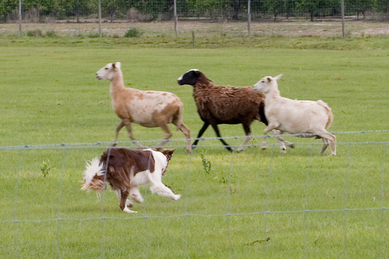 #322 Gum Slough Tank, Border Collie.  Tank work the sheep on the Started Course B.