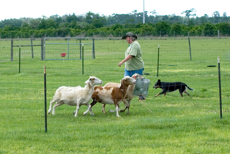 #221 Luaces Abby'Riginal, Australian Cattle Dog.  Abby and her owner/handler Pamela Johnson work the sheep on the Started Course A.