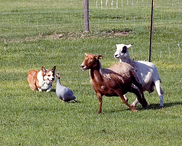 #200 Close-up of Too Tuff Abbey, Pembroke Welsh Corgi. Abbey finds a very surprised Guinea Hen in with the sheep.