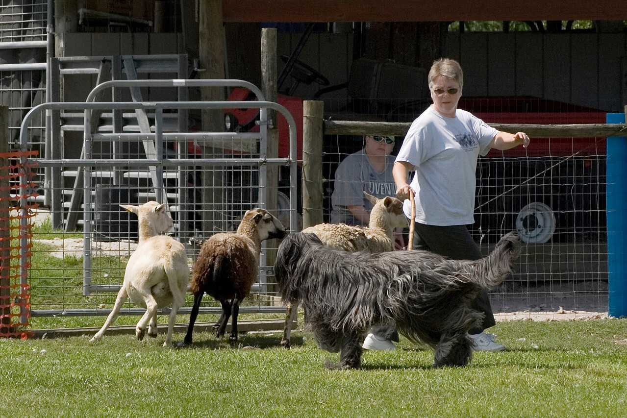 #104 Chaotic's Vision In Gray, Briard. Harry curves the sheep behind Michelle.