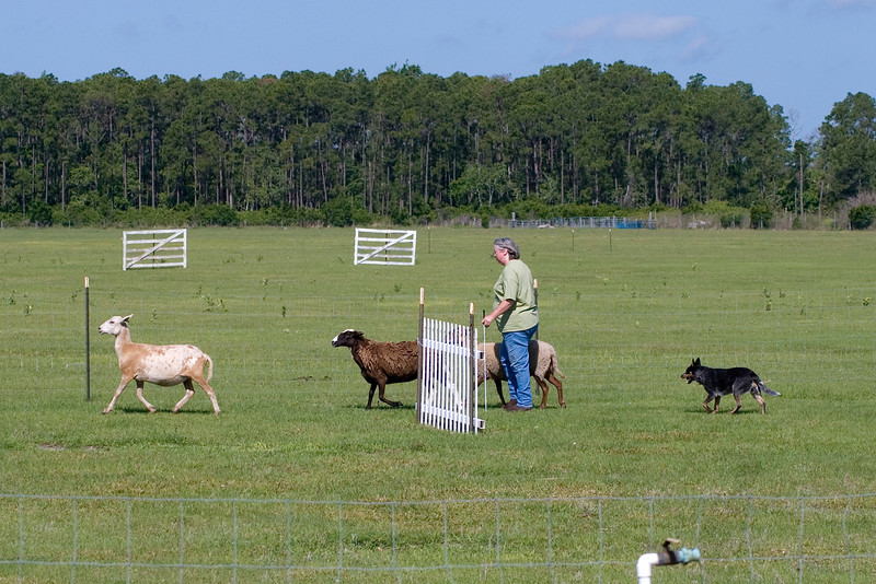 #206 Luaces Abby'Riginal, an Australian Cattle Dog. Abby and her Pamela Johnson work the PT (pre-trial) course.