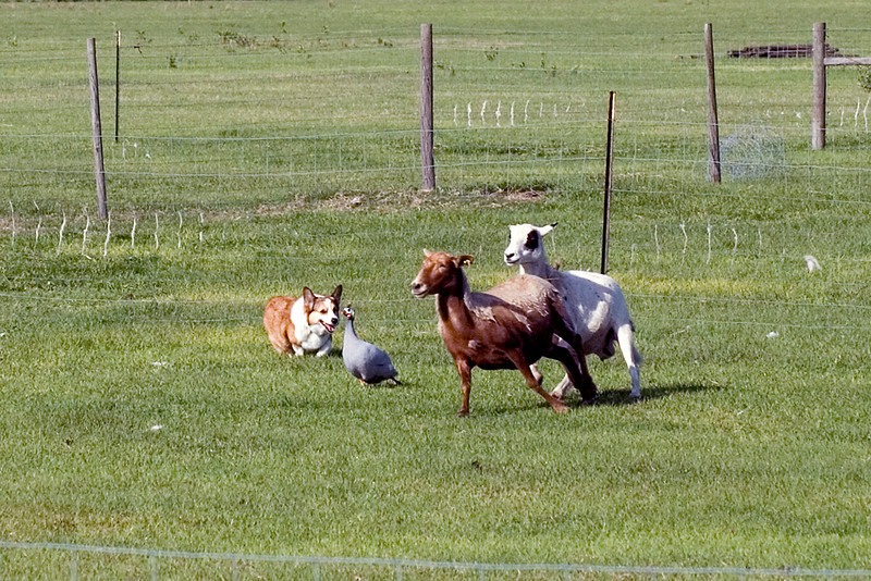 #200 Too Tuff Abbey, Pembroke Welsh Corgi. Abbey finds a very surprised Guinea Hen in with the sheep.