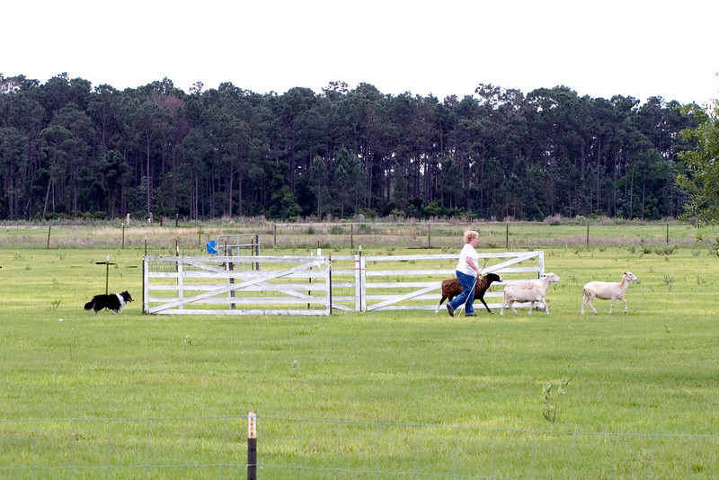 #301 Mighty Mac Linden, Shetland Sheepdog.  Mac and the sheep leave the panel runway and move toward the center gates.