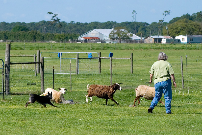 #206 Luaces Abby'Riginal, an Australian Cattle Dog, begins moving the sheep from the pick up area.