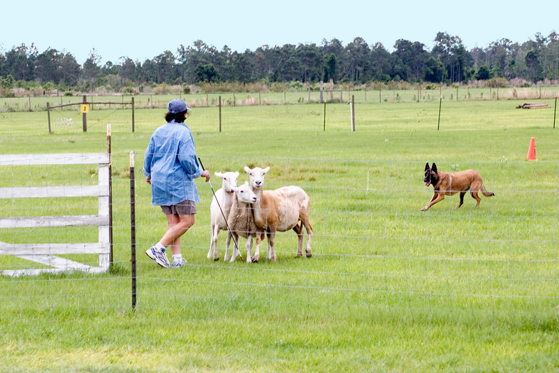 #303 Xtiva Outbk Ot Vitosha, a Belgian Malinois.  Tiva and owner Conni Borwick work the sheep on the Started A course.
