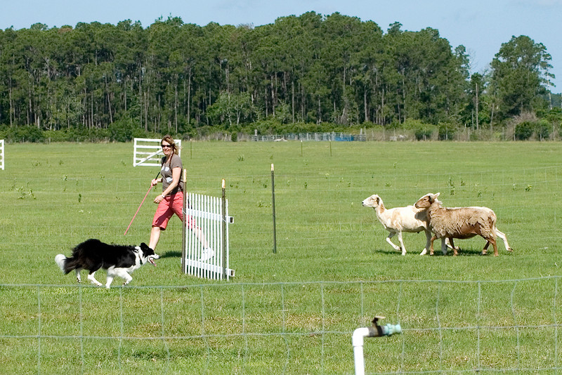 #205 DD Buddy DeBellis, Border Collie.  Buddy and his owner/handler Karen DeBellis work the PT course.