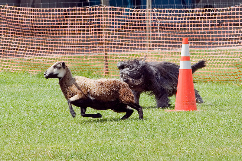 #104 Chaotic's Vision In Gray, Briard, is owned and handled by Michelle Holmes.  Harry moves the sheep briskly around the cones.