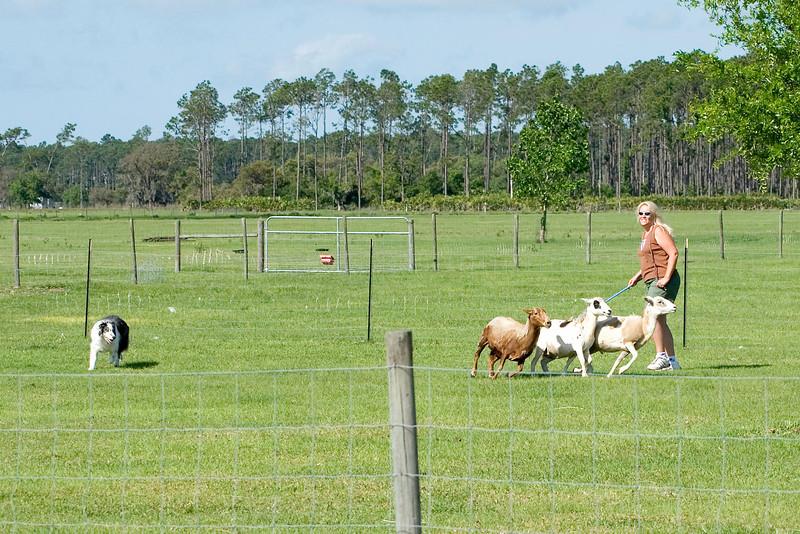 #204 Pepsi Stone CD, NAJ, Border Collie.  Pepsi holds the sheep near his owner, Jeanine Stone.