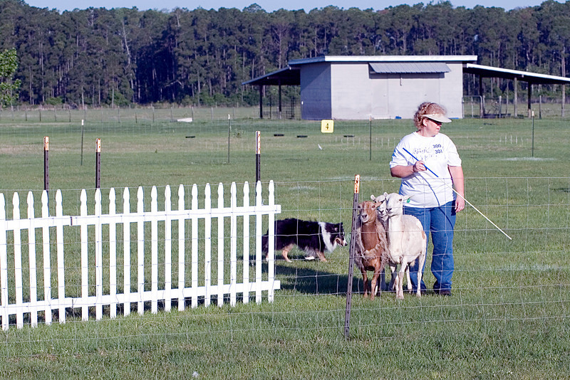 #300 Mighty Mac Linden, Shetland Sheepdog.  Mac and owner Nancy Olimpo work the Started - A Course with sheep.  Mac pushes the sheep into the chute but doesn't enter himself.