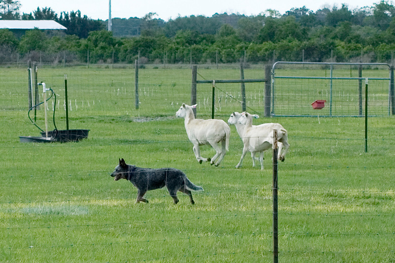 #320 Sandhill's Truly Unruly, Australian Cattle Dog. Truly turns the sheep by circling them.
