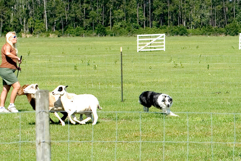 #204 Pepsi Stone CD, NAJ, Border Collie.  Pepsi is shown her with his owner Jeanine Stone, working the PT course.