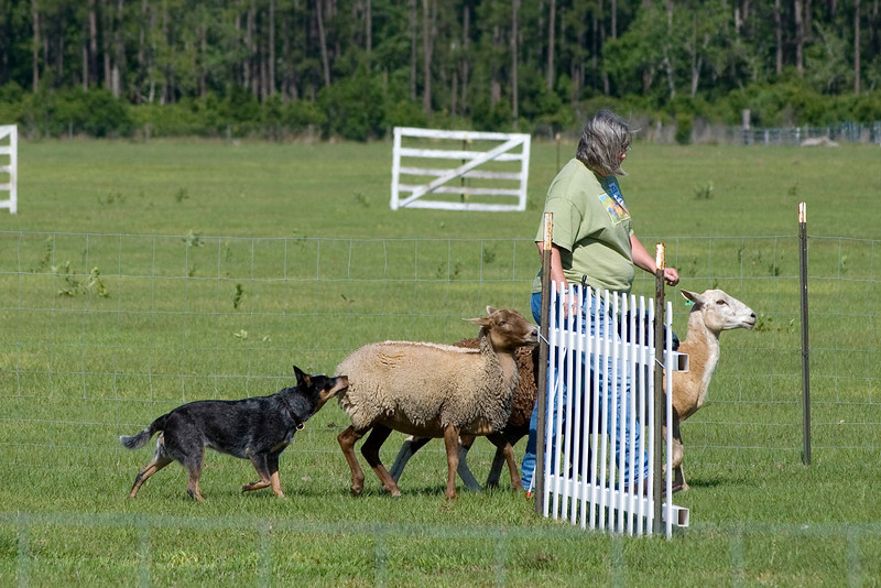 #206 Luaces Abby'Riginal, an Australian Cattle Dog. Abby nudges the sheep to help Pamela Johnson get them around the panels.