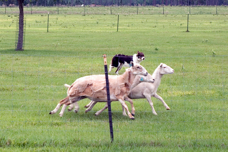 #403 Flash HSs, border Collie.  Flash continues with moving the sheep towards the exhaust pen on the intermediate A course.