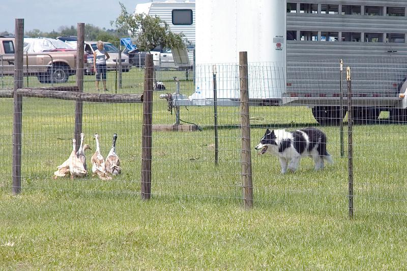 #352 Sumtinbout Bill, HXAs, MS, MJX, Border Collie.  Bill holds the five ducks in the corner.