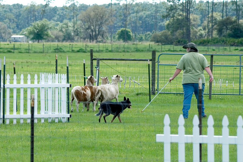 #221 Luaces Abby'Riginal, Australian Cattle Dog.  Abby drives the sheep through the Z-chute while Pamela heads towards the free-standing pen.