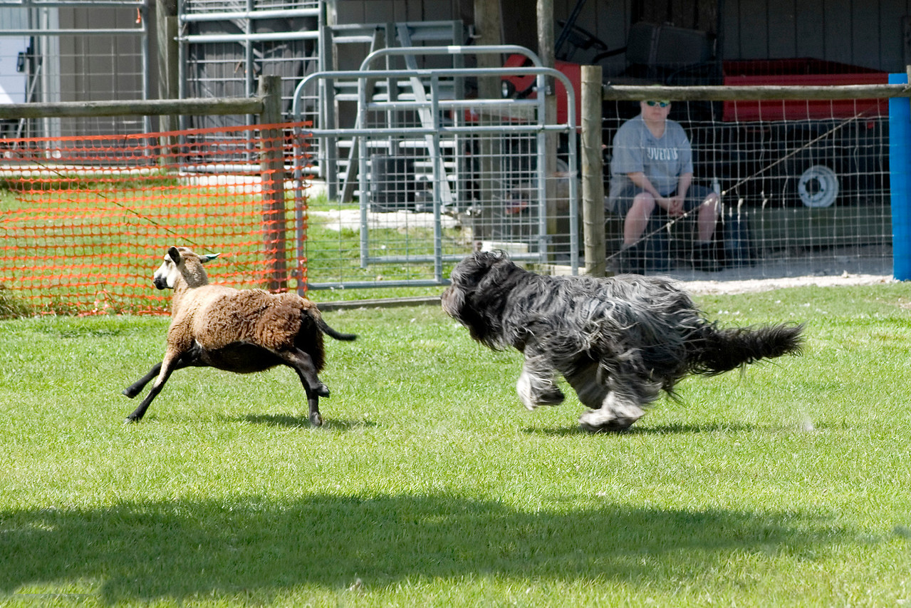 #104 Chaotic's Vision In Gray, Briard.  Harry works the sheep on the HT course.