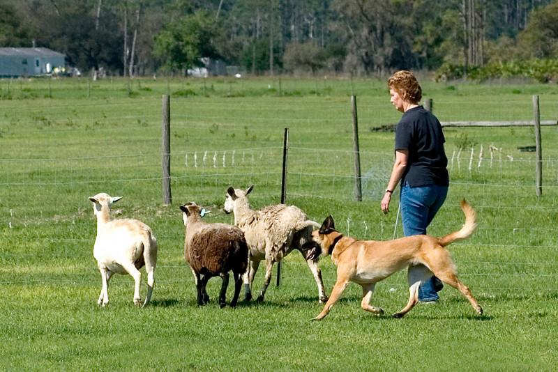 #207 Branhaven's Bacchus, a Belgian Malinois.  Brio  and Lisa move the sheep through the PT course.