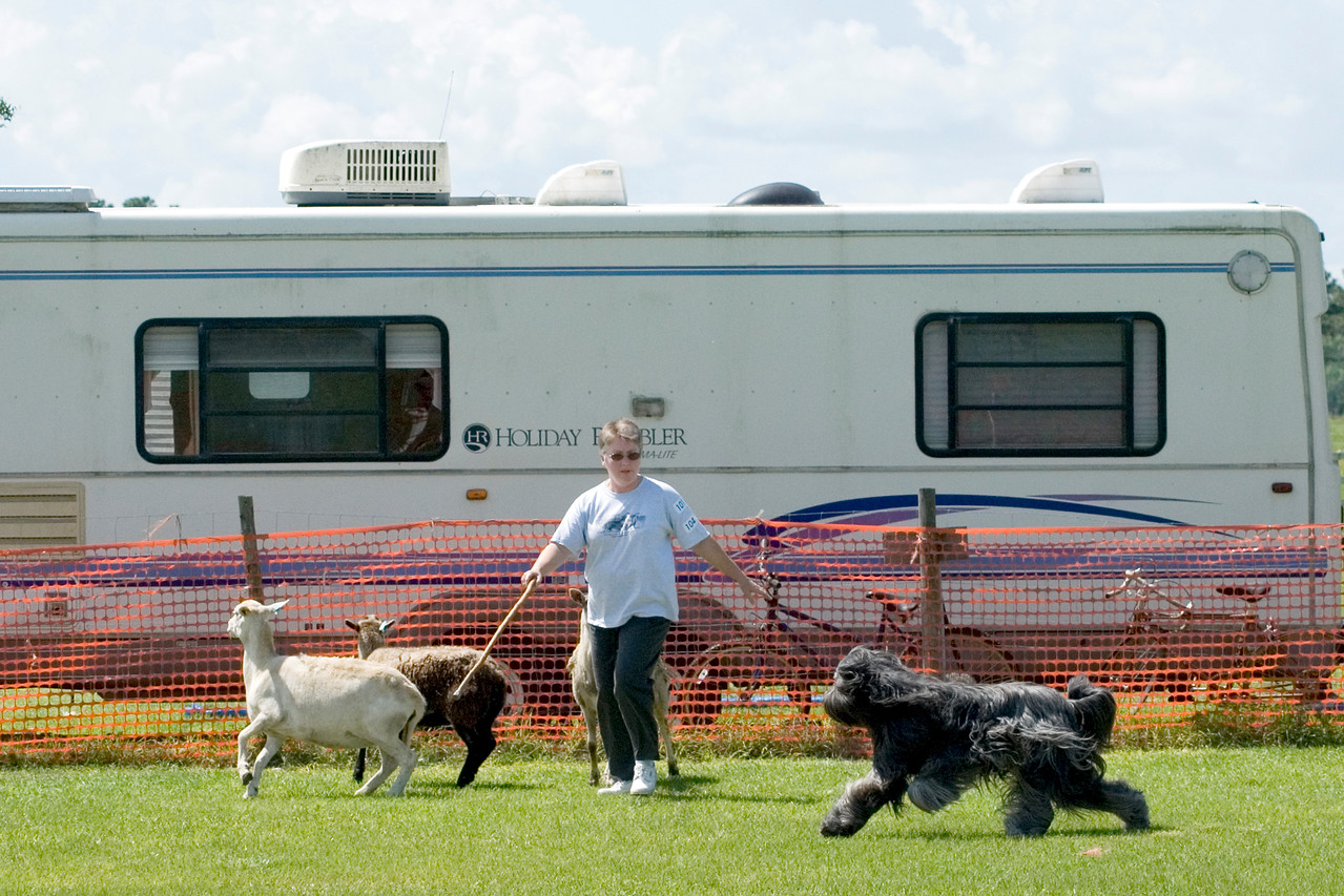 #104 Chaotic's Vision In Gray, Briard, is owned and handled by Michelle Holmes.  Harry works the sheep on the HT course.