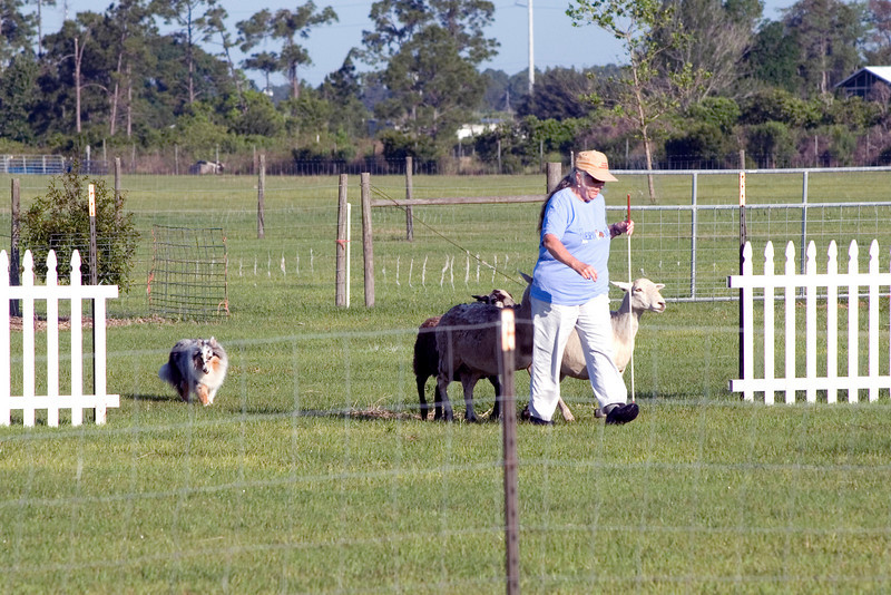 #302 Shadow Hills Daisy Duke, Shetland Sheepdog. Joanne walks with the sheep through the centerline gates while Daisy drives them from behind.