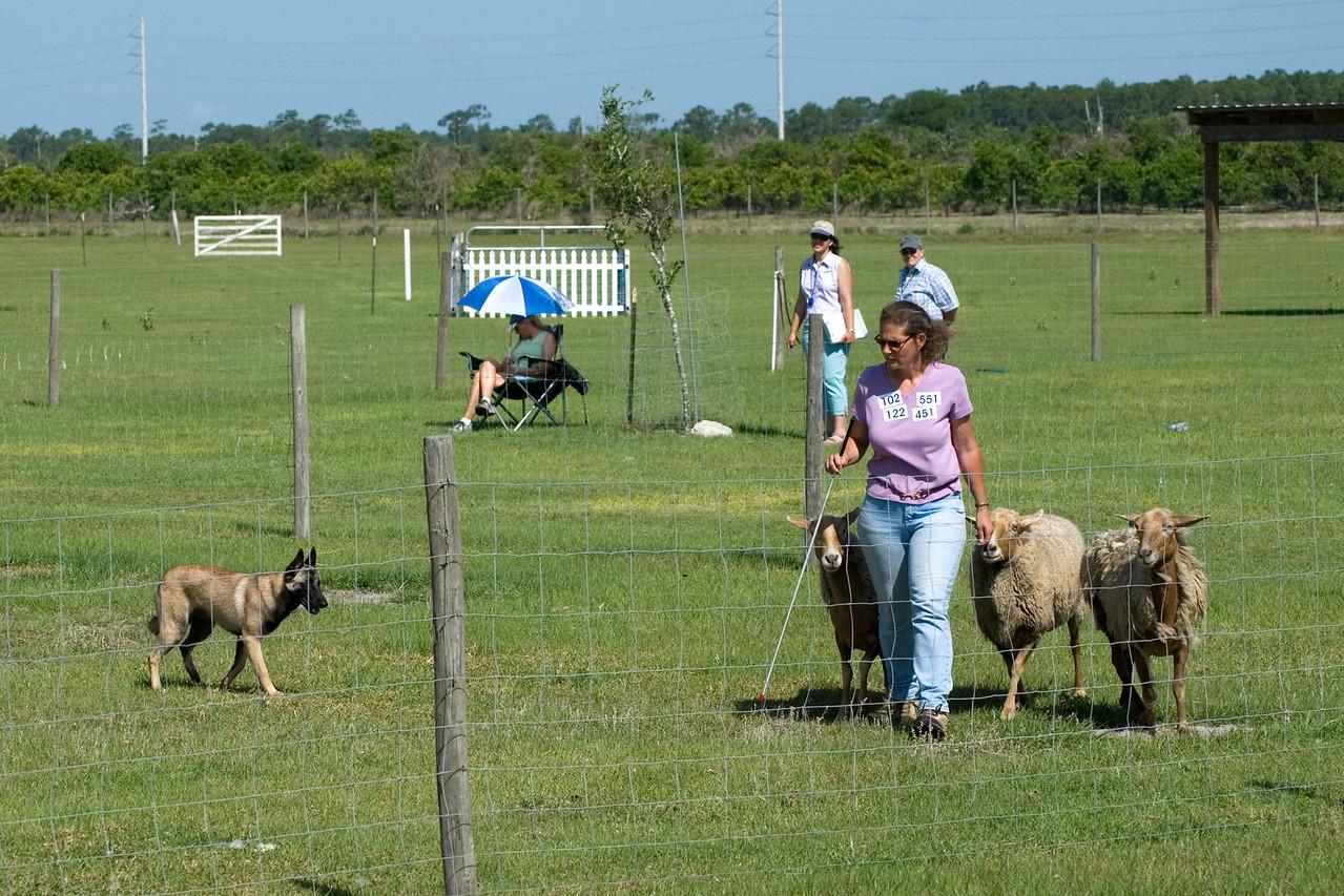 #102 Turicks Ewe Bet, Belgian Malinois. Cash drives the sheep from behind Carolyn.