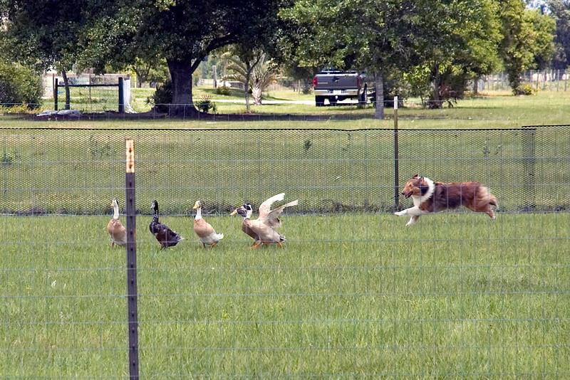 #353 Lucky Acre's Danielle, Shetland Sheepdog.  Danielle gathers the wayward ducks together.