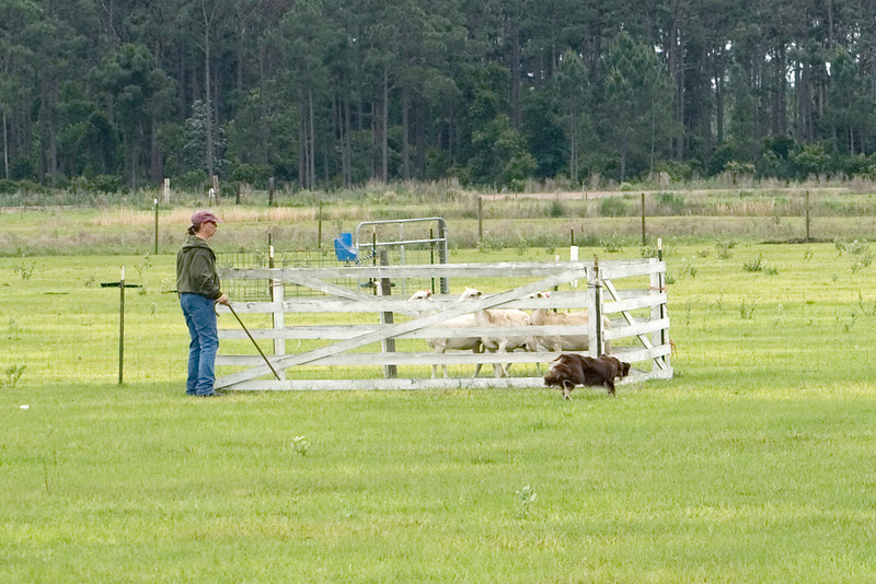 #402 Gum Slough Gyp, Border Collie.  Gyp moves to the back of the pen to force the sheep out.