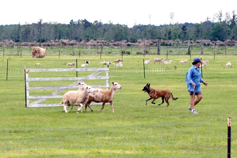 #303 Xtiva Outbk Ot Vitosha, a Belgian Malinois.  Conni and Tiva have gotten the sheep through the cross panels and are heading towards the exhaust pen.