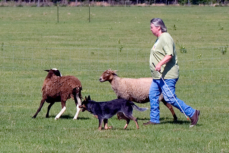 #206 Luaces Abby'Riginal, an Australian Cattle Dog. Abby and owner Pamela Johnson.