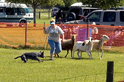 #100 Taylryder Sadie's Double Trouble, Australian Cattle Dog.  Sadie shows her instinct in the HT course.